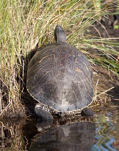 PeninsulaCooter_Turtle LakeWoodruffFL_7I2B3428_11-01-29
