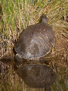 PeninsulaCooter_Turtle LakeWoodruffFL_7I2B3429_11-01-29