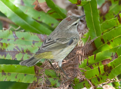 PineWarbler CorkscrewSwampFL_7I2B3936_11-02-01