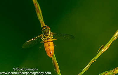 Toxomerus Hoverfly