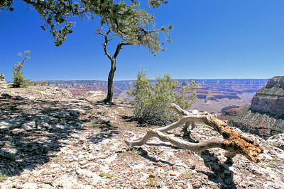 Grand Canyon Trees