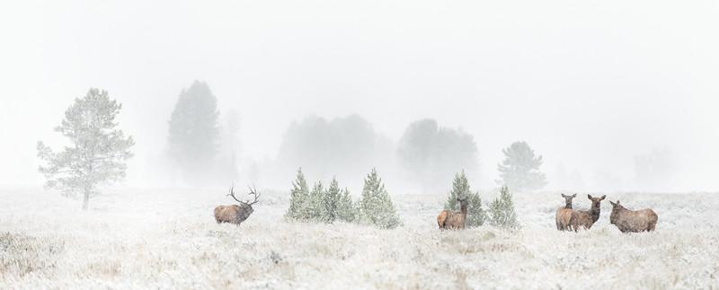Elk Herd in Snow