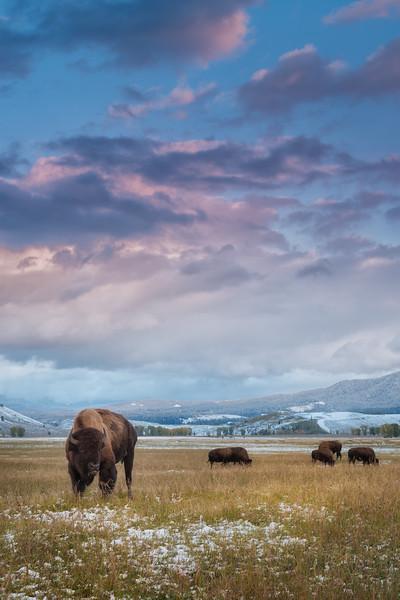 Bison grazing at sunset