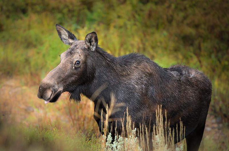 Cheeky Moose