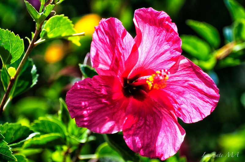 Hawaii flower1