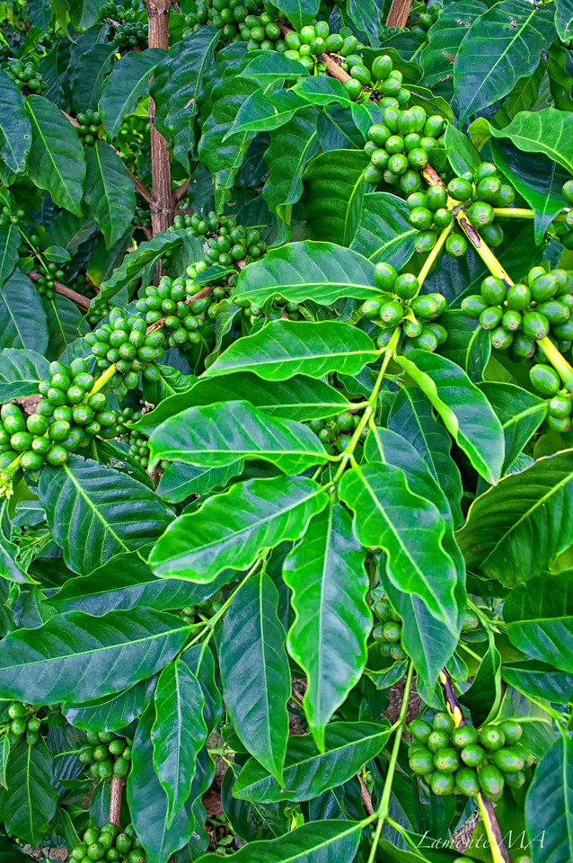 Unripe Coffee Cherry