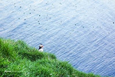 Puffin at Hafnarhólmi, Borgarfjörður Eystri. In the summer months, Hafnarhólmi is a reliable spot to find puffins. There is an accessible bird-watching platform from where puffins, eider ducks, kittiwakes and fulmars can be seen.