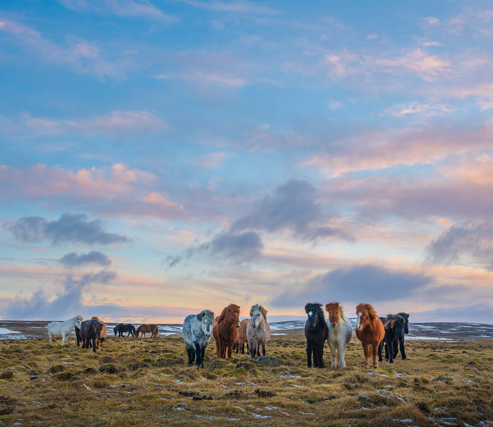 Icelandic Horses under a Painted Sky