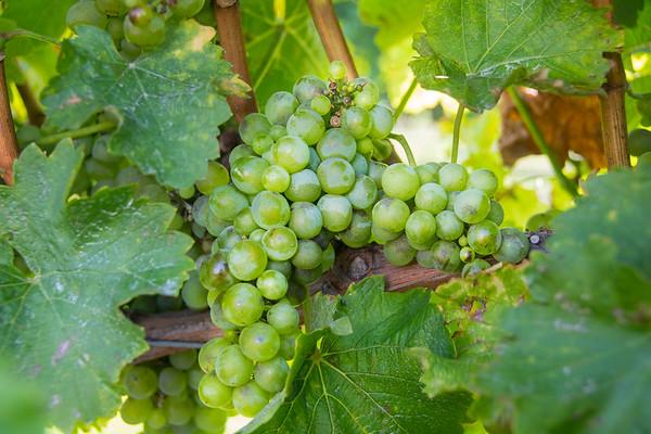 Marlborough grapes