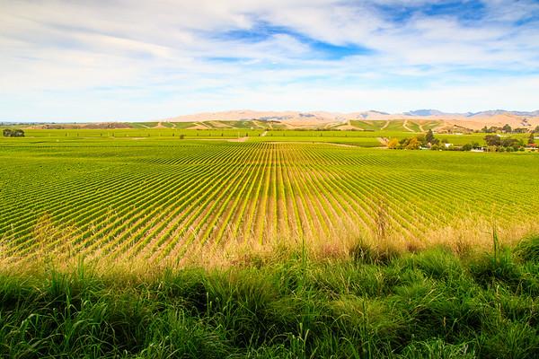 Marlborough vineyard