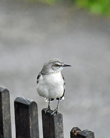 Jamaica Bird