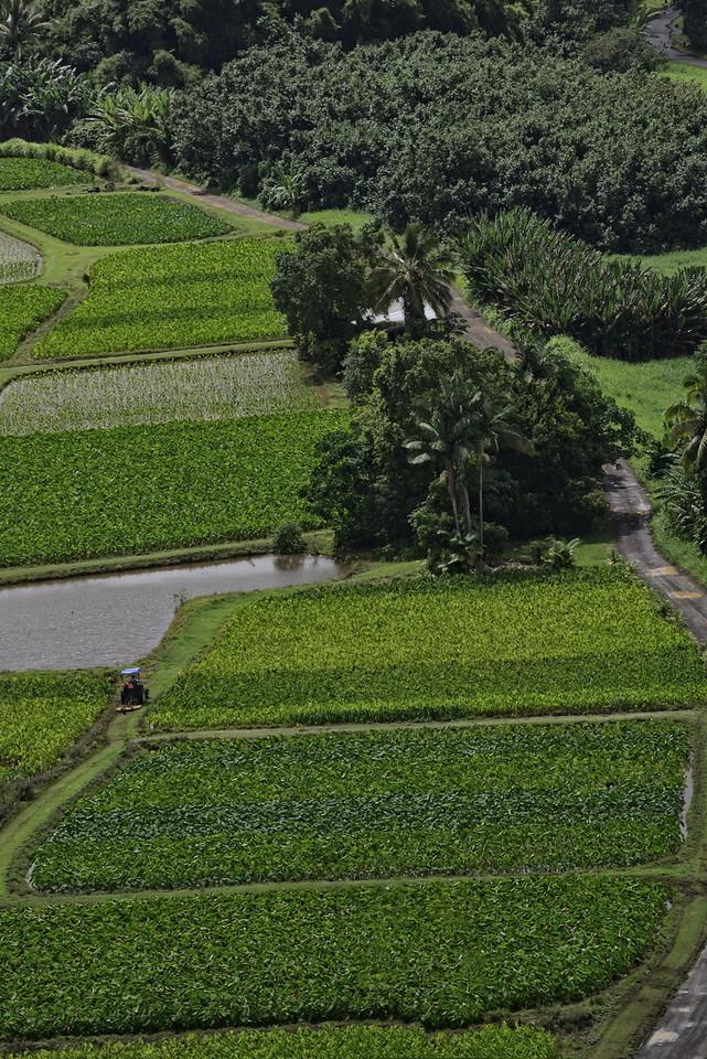 Taro Fields Kauai3