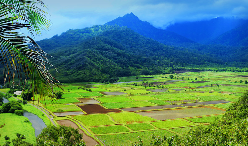 Commercial Taro fields