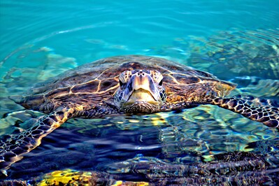 Sea Turtle in Kiholo Bay, Big Island Hawaii
