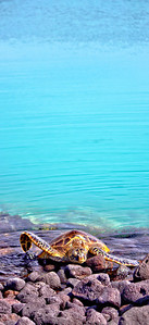 Sea Turtle in Kiholo Bay, Big Island Hawaii