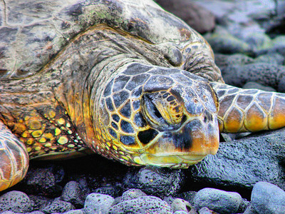 Big Island, Hawaii - Sea Turtle