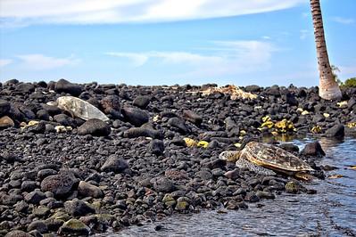 Sea Turtles in Kiholo Bay, Big Island Hawaii