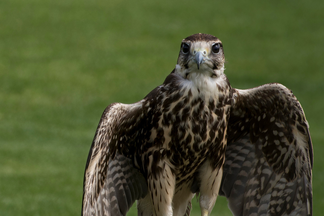 Hawk Sunning Her Wings
