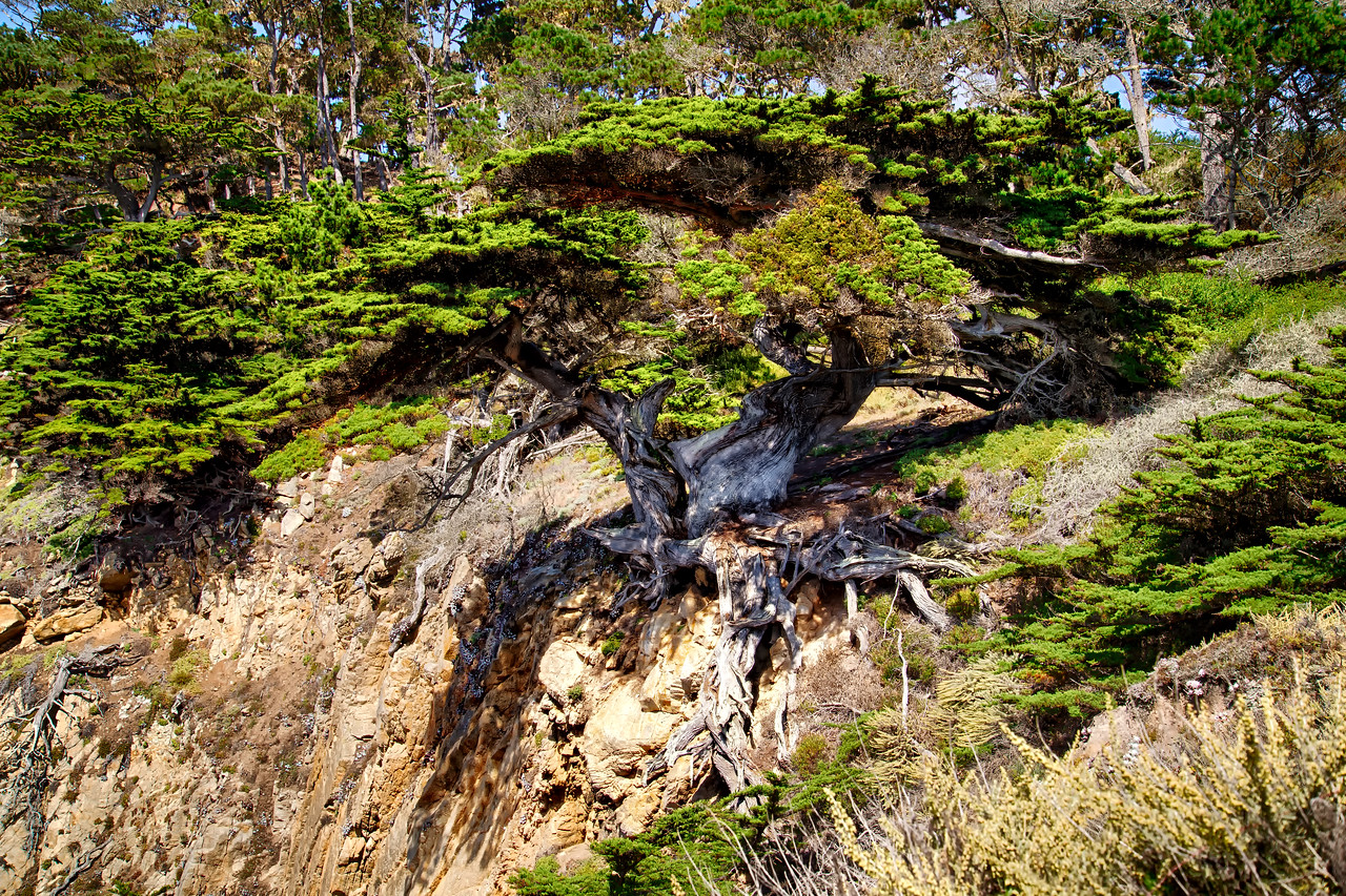 Old Cypress - Point Lobos Carmel
