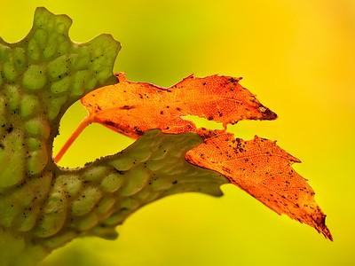 Leaf photo stack 35 pics-c_cropped