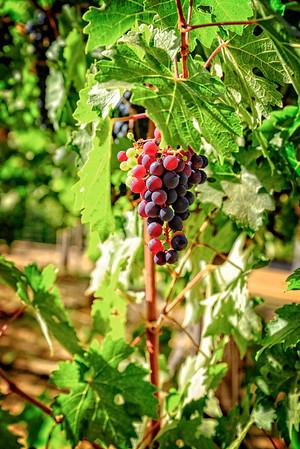 Napa grapes
