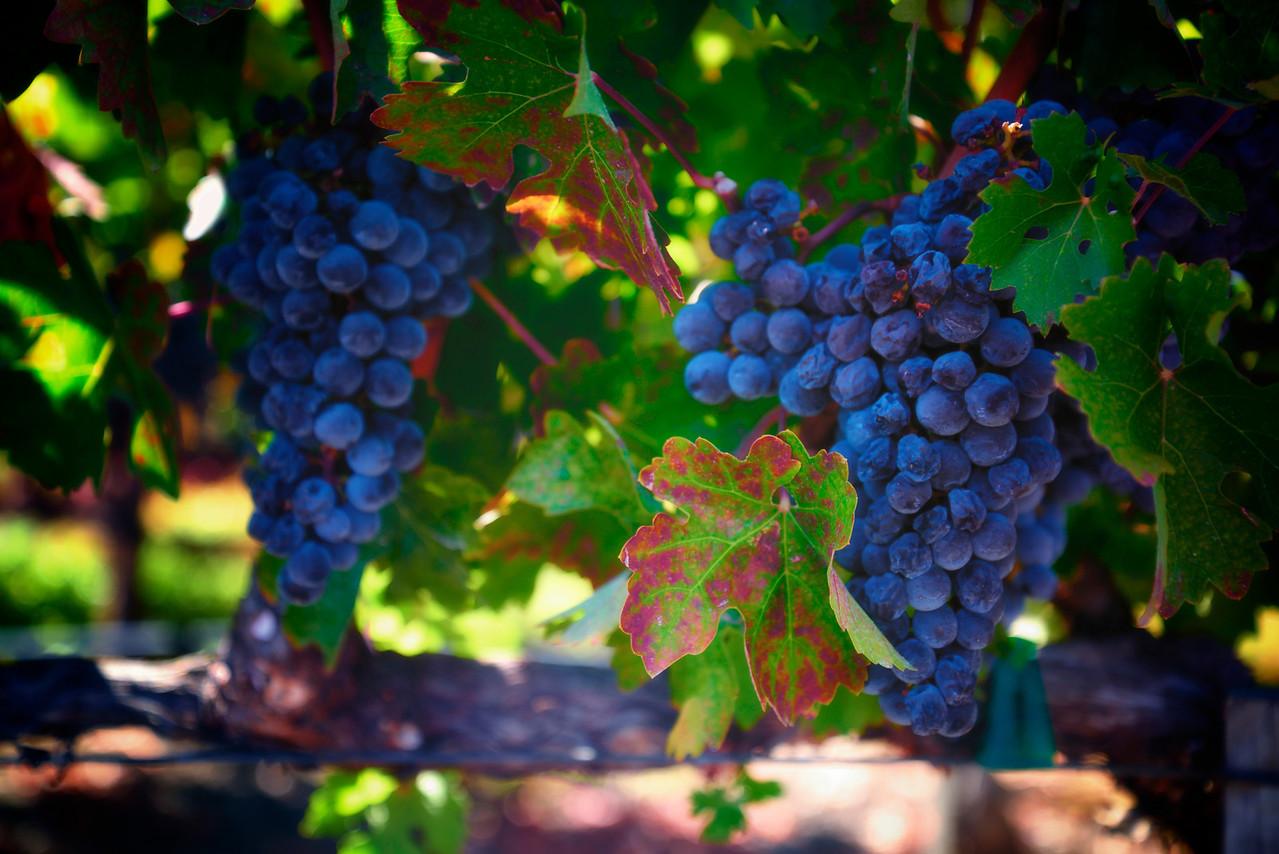 Sept grape harvest