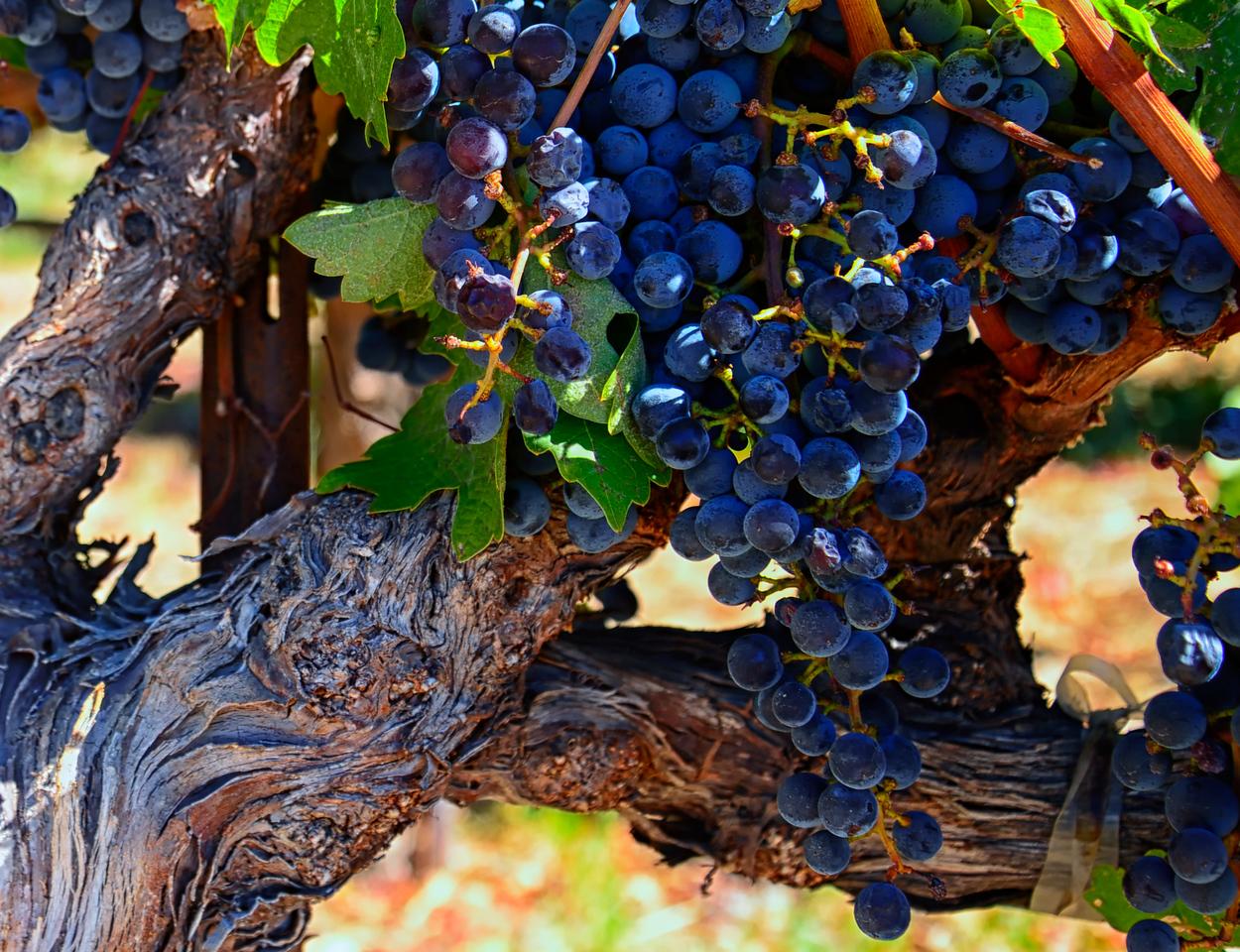 Napa Grapes & vine