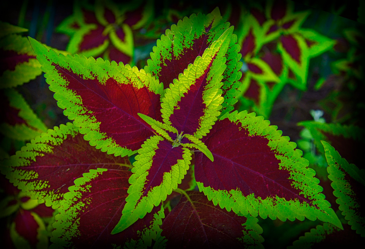 Interesting green Red Leaf2