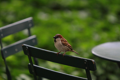 Sparrow in Bryant Park in New York, New York.