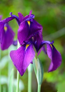 #040-Japanese Iris; Heritage Garden