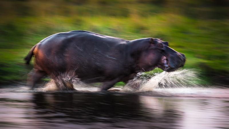 Hippo On The Run