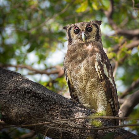 Verreaux's eagle-owl (Giant eagle-owl)
