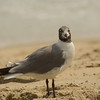 Sea Gull-1