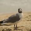 Sea Gull-1