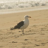 White Sea Gull_