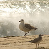 White Sea Gull and Waves