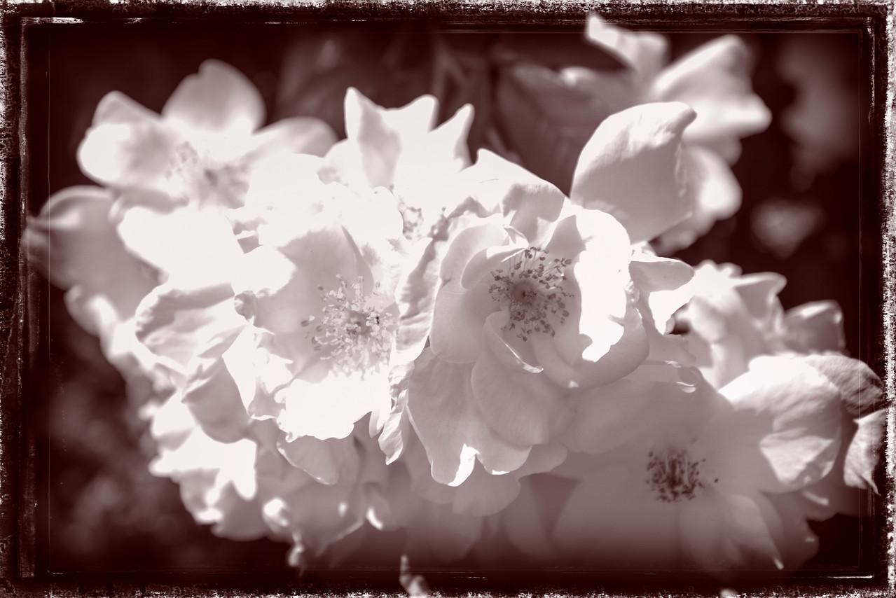 Lavender B & W -  Portland Rose Garden