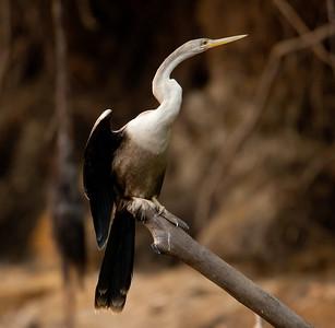 Anhinga Pantanal_7I2B9448_10-09-26