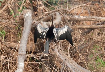 Anhinga Pantanal_7I2B8888_10-09-24