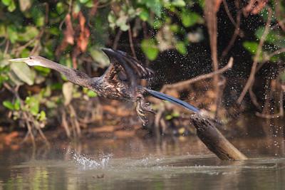 Anhinga Pantanal_7I2B0228_10-09-28