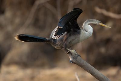 Anhinga Pantanal_7I2B9451_10-09-26