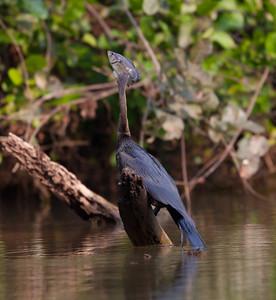 Anhinga Pantanal_7I2B0224_10-09-28