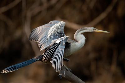 Anhinga Pantanal_7I2B9452_10-09-26