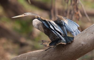 Anhinga Pantanal_7I2B9410_10-09-26