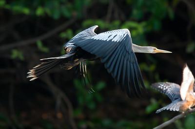 Anhinga Pantanal_7I2B0253_10-09-28