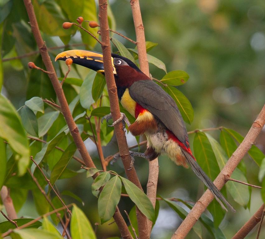 ChestnutEarAracari Pantanal_7I2B8454_10-09-23