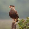 untitled20100922_CrestedCaracara Pantanal_7I2B8278_10-09-22