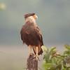 untitled20100922_CrestedCaracara Pantanal_7I2B8276_10-09-22