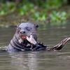 GiantOtter Pantanal_7I2B0168_10-09-28
