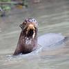 GiantOtter Pantanal_IMG_1965_10-09-27